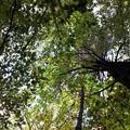 Beech Trees 10-05-14