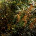 Pine Needles 10-05-14