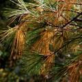 Pine Needles II 10-05-14