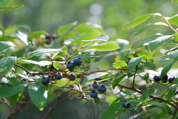 Blueberries 8-8-15