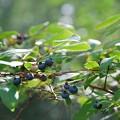 Photos: Blueberries 8-8-15