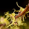 Witch-Hazel I 10-17-15