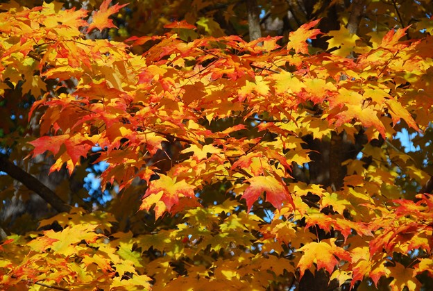 Maple Leaves I 10-24-15