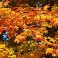 Photos: Maple Leaves I 10-24-15