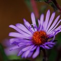 New England Aster 10-11-15