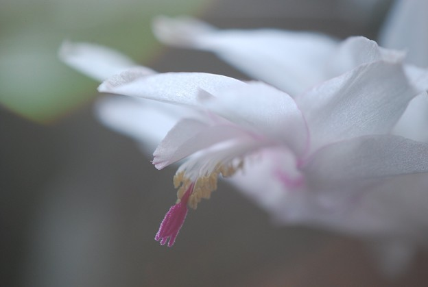 White Holiday Cactus 11-14-15