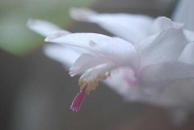 White Holiday Cactus 11-14-15