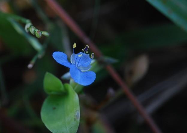 Spreading Dayflower 12-30-15