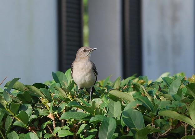Photos: Mockingbird 12-30-15