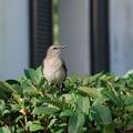 写真: Mockingbird 12-30-15