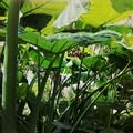 写真: Under the Leaves 1-31-16