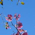 Rosy Trumpet Tree 2-18-16