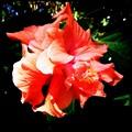 写真: Double Petals 2-18-16