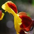 Clock Vine Flower 3-8-16