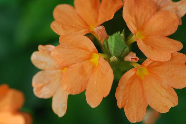 Firecracker Flower 3-8-16