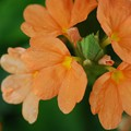 Photos: Firecracker Flower 3-8-16