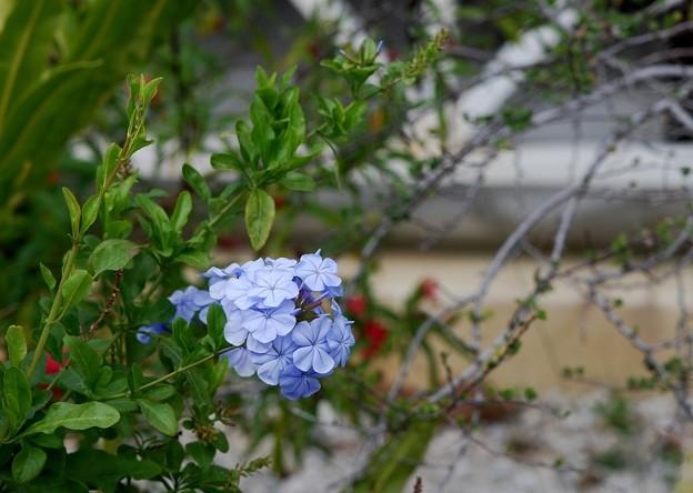 Blue Plumbago 3-8-16