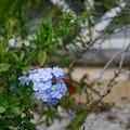 Photos: Blue Plumbago 3-8-16