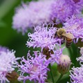 A Bee with Vernonia 3-8-16