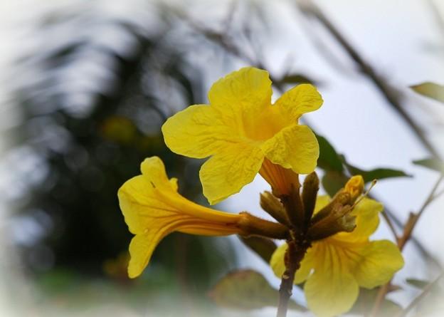 Golden Trumpet Tree 3-8-16