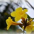 写真: Golden Trumpet Tree 3-8-16