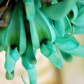 Jade Vine 3-18-16