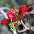 Jamaican Poinsettia 3-18-16