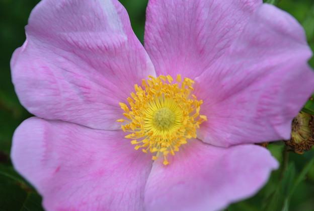 Rugosa Rose 7-22-09