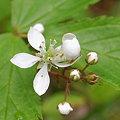 Swamp Dewberry 7-22-09