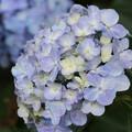 Photos: アジサイ山公園周辺の紫陽花