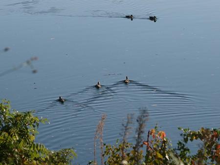 児島湖のカルガモ