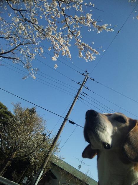 マリンと桜と電柱…