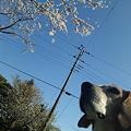 写真: マリンと桜と電柱…