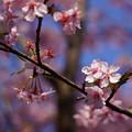 Photos: 君津の河津桜