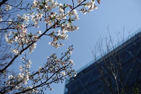 品川の桜1