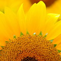 写真: 秋の向日葵
