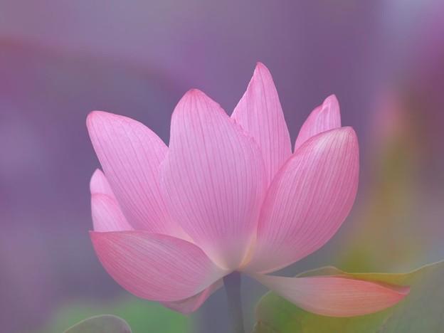 背景はボカしたピンクの花