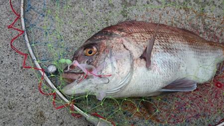養殖廃棄真鯛