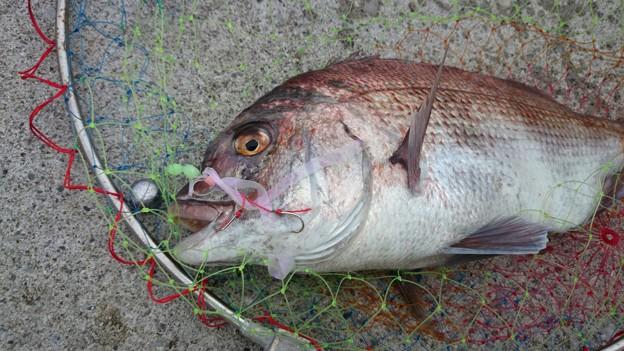 写真: 養殖廃棄真鯛