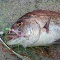 Photos: 養殖廃棄真鯛