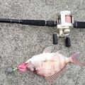 写真: 10月4日 1投目から小さい真鯛