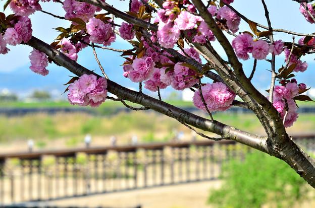 2016_0416_143726_01_八幡の流れ橋