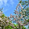 2016_0416_160009_八重桜