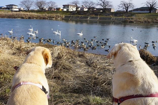 白鳥のいる川