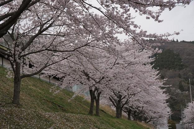 公園桜 散りはじめ