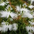 Photos: サギソウ群れ飛ぶ花畑