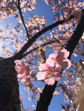 近所の緋寒桜03