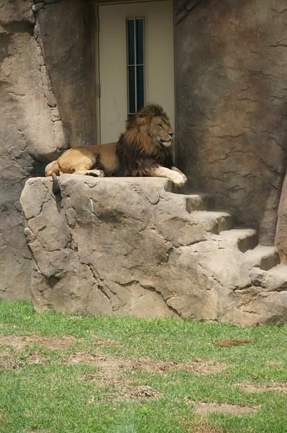 ライオンがやってきた!