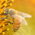 Photos: ひまわりの蜜は太陽の味?