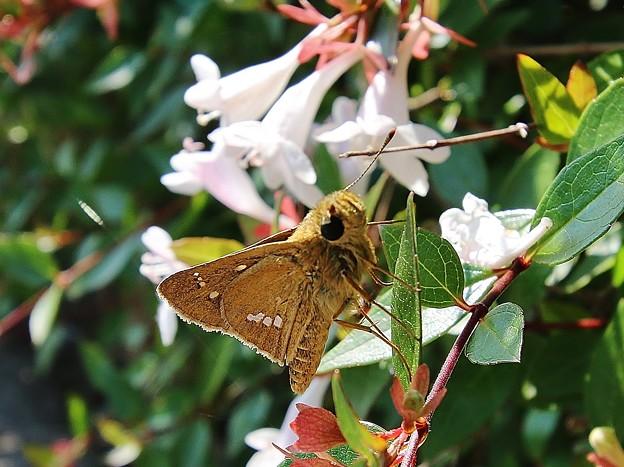 昆虫 >>: セセリチョウ IMG_0148
